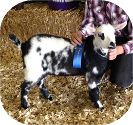 Triple-T Ranch | Home of the Myotonic (Fainting) Goat